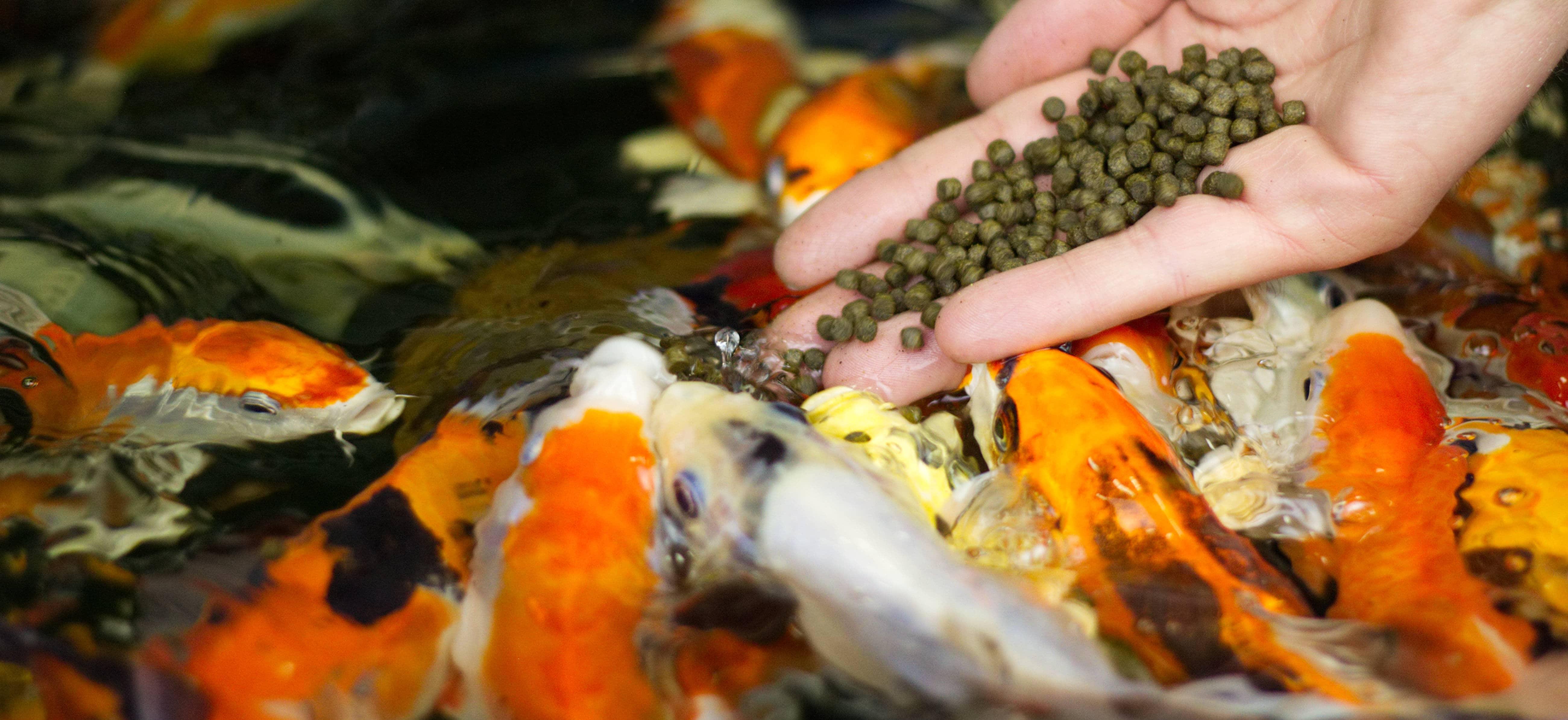 Koi-Fütterung mit Koifutter Nutramare Koi360